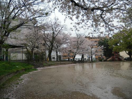 折角の桜もコンナ。