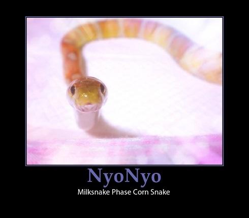 Milksnake Phase Corn Snake NyoNyo