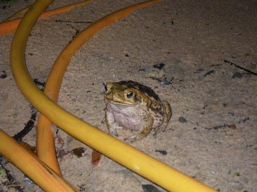 夕暮れに現れたカエル_サイズ変更