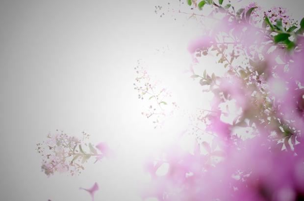 薄いピンクの百日紅
