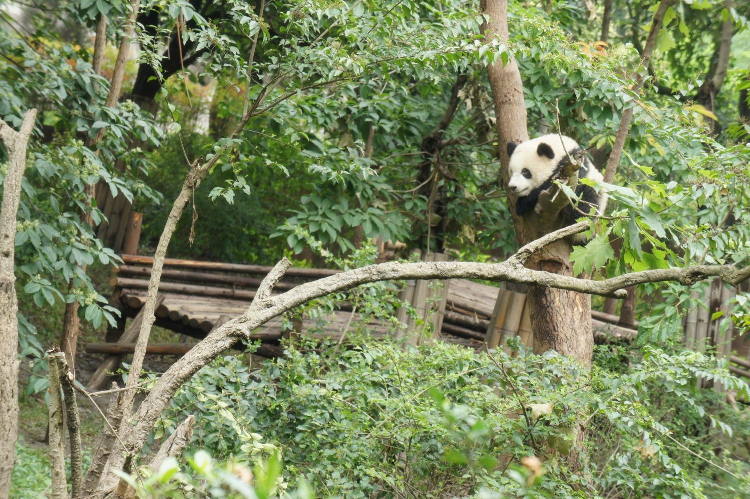 panda080.jpg