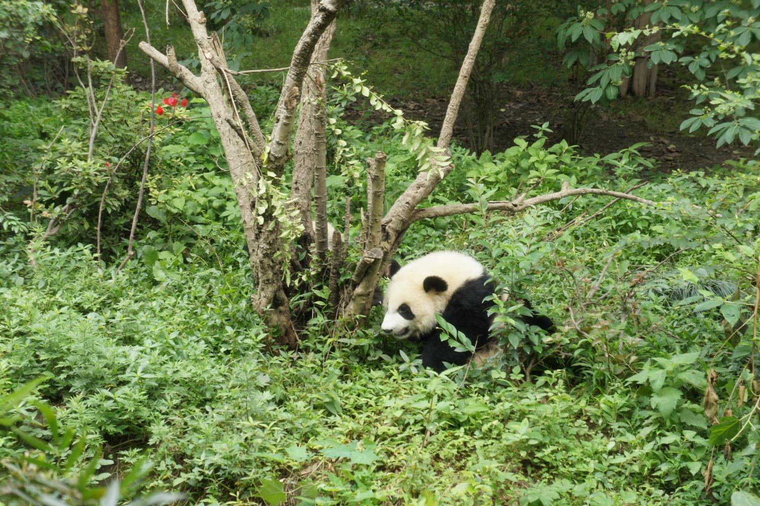 panda090.jpg