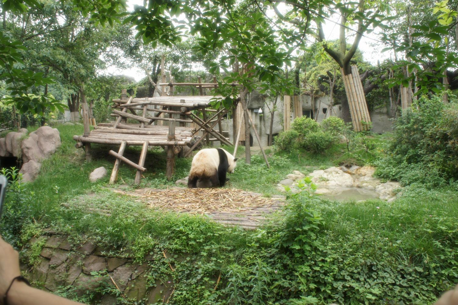 panda110.jpg