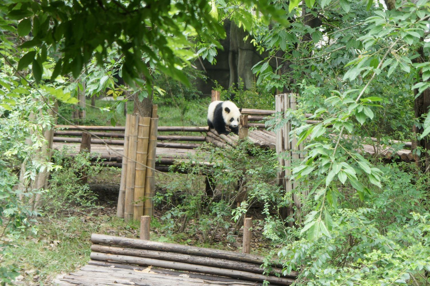 panda130.jpg