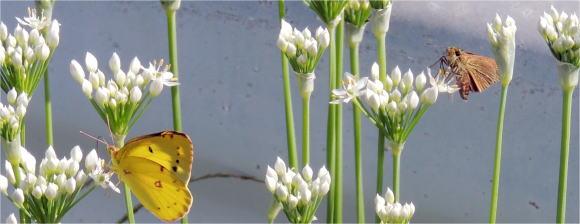 ニラの花と蝶
