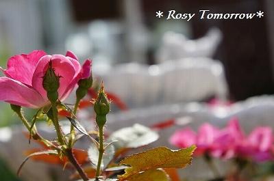 夏の薔薇と噴水