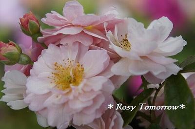 桜みたいなこーねりあ