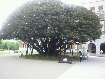 大きなしいの木
