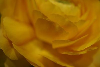 重なる花びら