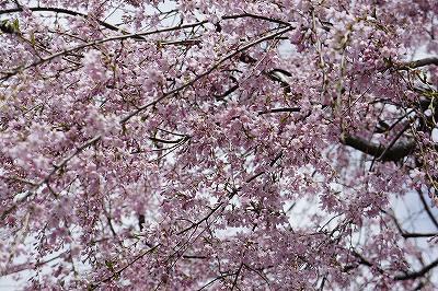 しだれ桜が降ってくるー