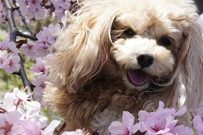 ぴんくの桜ちゃん 可愛いねー