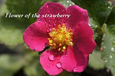 赤いイチゴちゃんの花