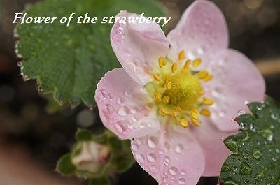 ぴんくのイチゴちゃんの花