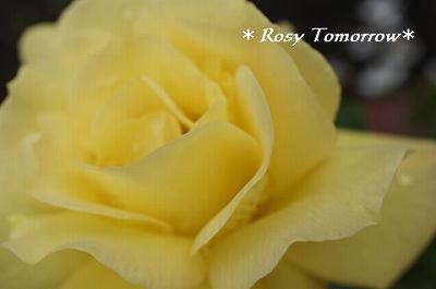 黄色い薔薇さん
