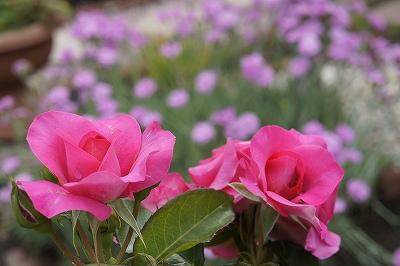 ピンクのお庭