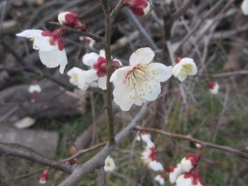梅の花ひらく