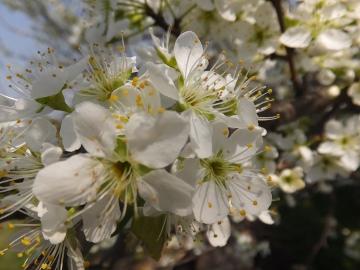 すももの花満開2