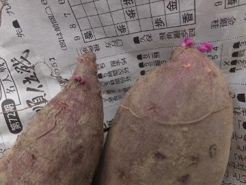 さつま芋の芽10