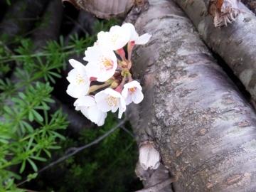 桜がこんな所で咲いた2