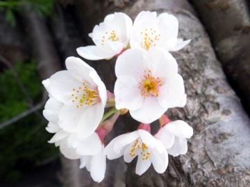 桜がこんな所で咲いた3