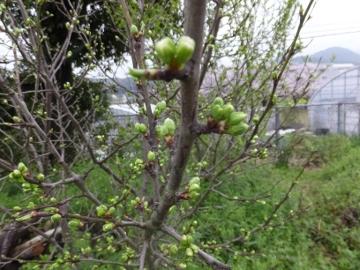 新芽、柿4