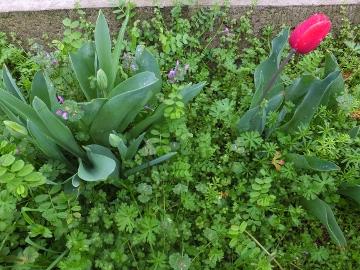 チューリップの花も