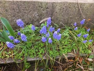 チューリップの花も2