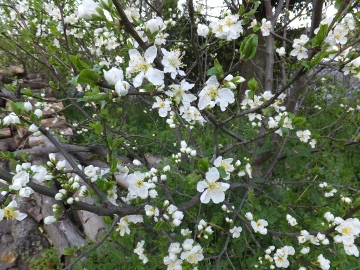 プルーン花盛り2