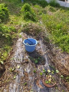 芋畑の草ぼうぼう3