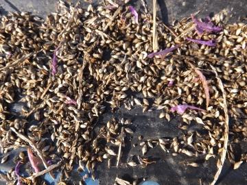 芋畑の草ぼうぼう6