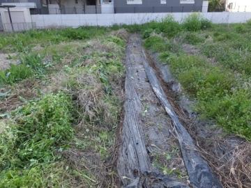 芋畑の草ぼうぼう7