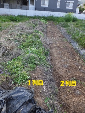 芋畑草取り2列目