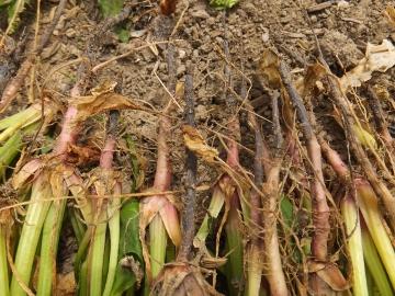 ホウレン草の根が3