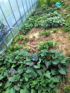 さつま芋苗5種類
