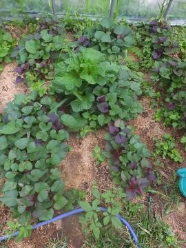 さつま芋苗5種類6
