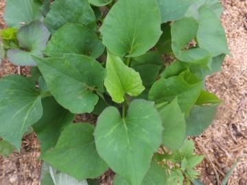 さつま芋苗5種類8