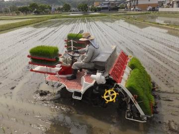 のびすぎ稲苗の田植え4