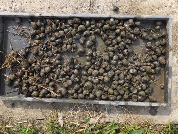 のびすぎ稲苗の田植え6