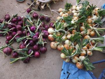 田植え、玉ねぎ、ニンニク収穫3