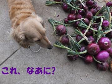 田植え、玉ねぎ、ニンニク収穫7