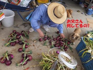 田植え、玉ねぎ、ニンニク収穫8
