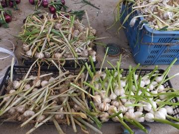 田植え、玉ねぎ、ニンニク収穫9