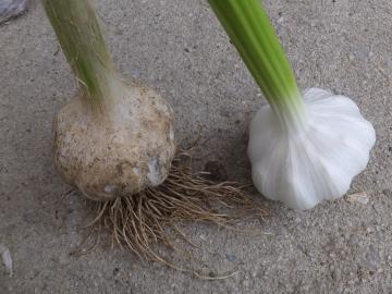 田植え、玉ねぎ、ニンニク収穫11