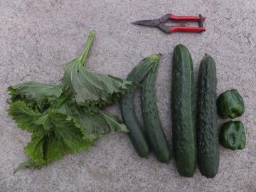 野菜が成長6