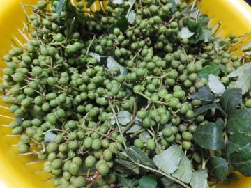 山椒の実いっぱい
