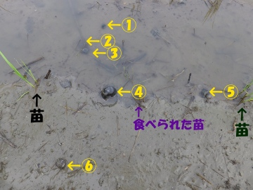 有機米ジャンボタニシ被害3