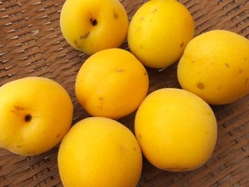 梅が黄色2