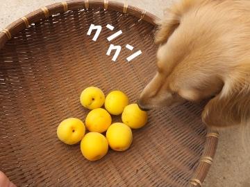 梅が黄色3