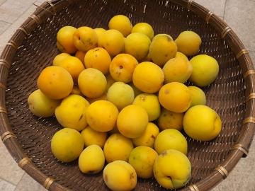 梅が黄色4