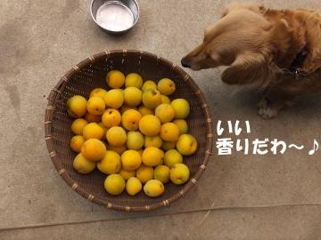 梅が黄色5